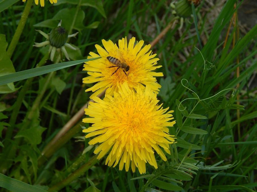 Taraxacum officinalis fiori