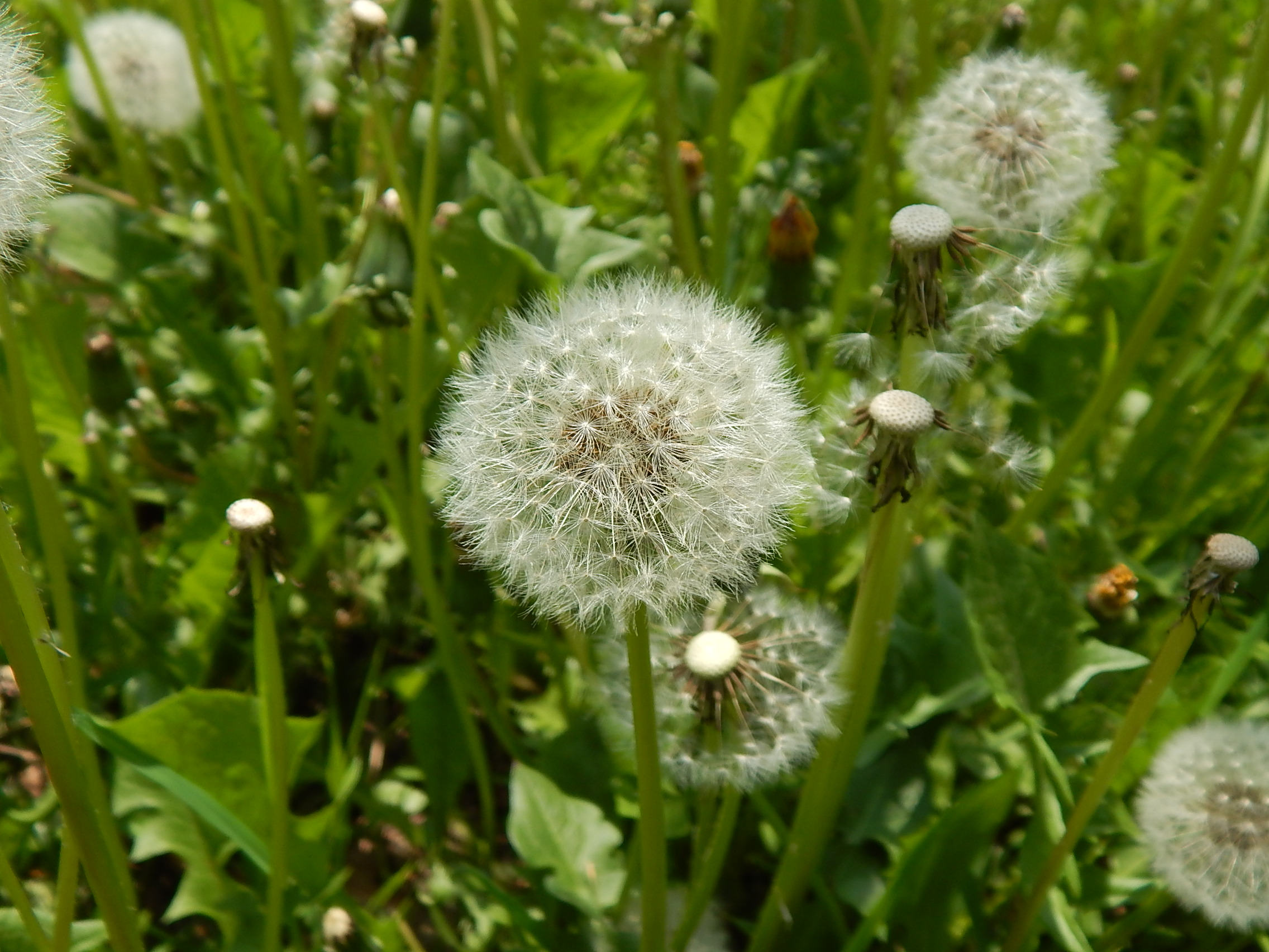 Taraxacum officinalis soffione